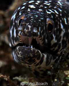 Spotted moray. It looks like he is growling but he is act... by John Roach
