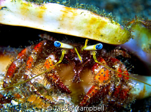 Eye contact. Ole Blue eyes, hermit crab Canon s90, dual... by Jackie Campbell
