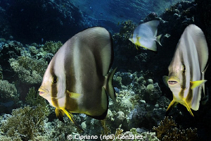 Batfish family. Ras Mohamed by Cipriano (ripli) Gonzalez