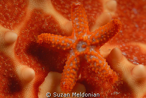 Baby Star on Star- who knew?  Two weeks ago we saw some... by Suzan Meldonian