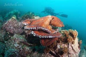 """Hey, I'm here..."" / Giant octopus Dofleini (2) by Boris Pamikov"