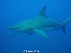 žralok černocípý-blacktip by Radim Fort