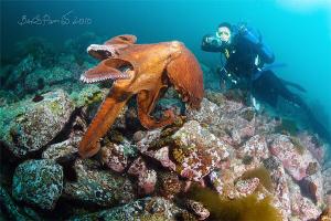 """""""... Take me a picture...please"""" / Giant octopus Doflein... by Boris Pamikov"""