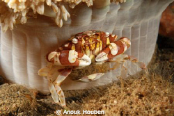 Crab guarding its eggs. by Anouk Houben