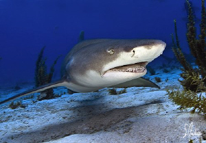Lemon Sharks are always smiling when divers are present a... by Steven Anderson
