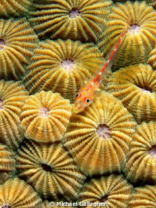 Goby on hard coral, PNG by Michael Gallagher