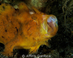 frogfish by Afflitti Gianluca