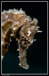 Finally first black seahorse for me in the Red Sea... by Dray Van Beeck