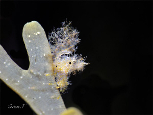 Hairy shrimp by Sven Tramaux