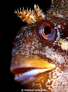 Tompot Blenny portrait, Swanage Pier by Michael Gallagher