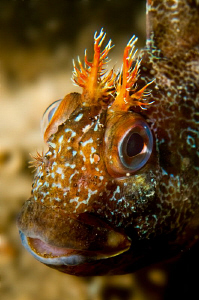 Tompot Blenny photographed while searching for the wreck ... by Paul Colley
