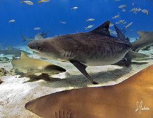 Emma the Tiger Shark makes her way thru a group of Lemon ... by Steven Anderson