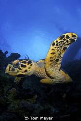 Little Cayman Turtle by Tom Meyer