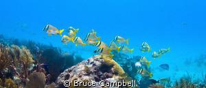 Pork fish on Shangrila reef near Playa Del Carmen. by Bruce Campbell