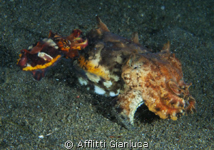 flamboyant cuttlefish.....double by Afflitti Gianluca