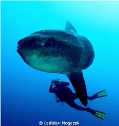 Mola Mola crystal bay Nusa Penida by Ladislav Nogacek