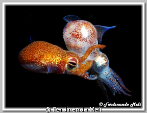 Coupling of small cuttlefishs (Sepiola sp.). by Ferdinando Meli