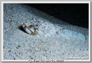 A fish inside sand of the bottom sea. by Ferdinando Meli