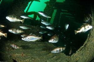 schooling Pout fish on Heinrich wreck_Manche by Mathieu Foulquié