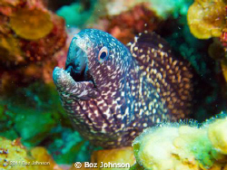 Spotted Moray Eeel - Olympus Pen + Olympus housing. Inon ... by Boz Johnson