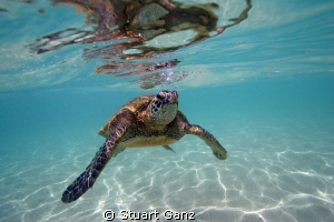 "Green sea turtle ""Honu"" by Stuart Ganz"