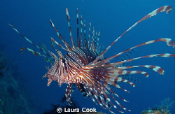 Common lionfish spotted hovering over a reef, beautiful s... by Laura Cook