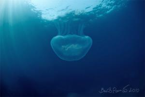 from light into shadow... / Aurelia aurita by Boris Pamikov