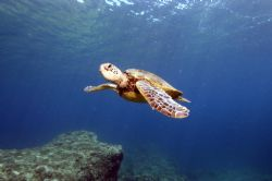 Honu at Shark's Cove, North Shore, Oahu Nikon D-100 with... by Catherine Landa