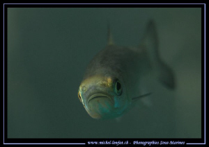 Face to face with this young Chub... :O)... by Michel Lonfat