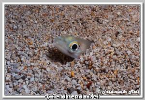 A little fish (Ariosoma balearicum) buried inside the san... by Ferdinando Meli