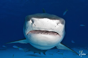 Tiger Shark headon at Ginormous Reef - We had 3 of them i... by Steven Anderson