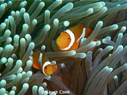 Finding Nemo in the Philippines. The elusive shot of clow... by Laura Cook
