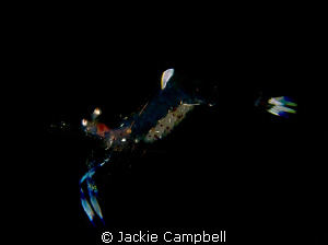 Free swimming anenome shrimp....with eggs :) Canon S90 w... by Jackie Campbell