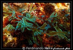 Seaweed of strange colors. by Ferdinando Meli
