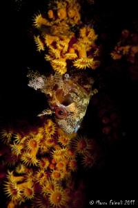 Mediterranean blenny (Parablennius gattoruggine) by Marco Faimali