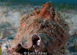 Juvenille Queen Conch Aguadilla Puerto Rico; Olympus EPL-... by Carlos Pérez