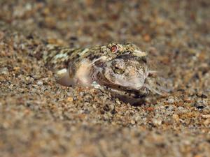 THE END II  Lizardfish Eidechsenfisch Philippines 2010 by Jörg Menge