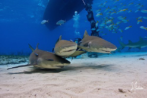Looking like the 3 stooges, these Lemon Sharks seem to be... by Steven Anderson