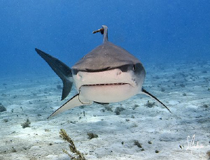 This small Tiger Shark followed us from reef to reef and ... by Steven Anderson