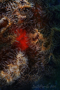Anemone abstract by Boris Pamikov