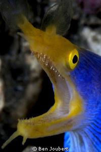 Blue Ribbon Eel by Ben Joubert