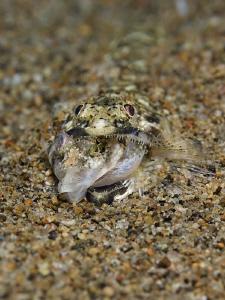 THE END III Lizardfish  Eidechsenfisch  Philippines 2010 by Jörg Menge
