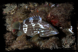 Young grouper in night dive by Vittorio Durante