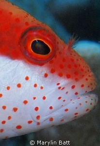 close up of face of Hawkfish by Marylin Batt