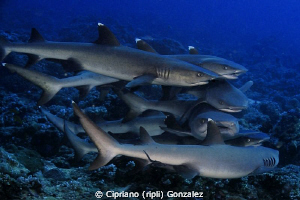 love frenzy at Ari atoll by Cipriano (ripli) Gonzalez