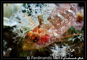 A very small fish (female of Trypterygion tripteronotus). by Ferdinando Meli