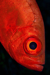 Crescent Tail Bigeye by Paul Colley