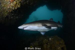 "Grey Nurse Shark inside the ""Cod Hole"" Julian Rocks, Byro... by Mark Gray"