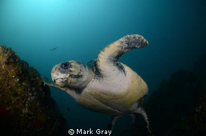 Temperate Water Loggerhead by Mark Gray