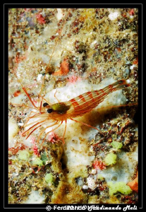 Cleaner shrimp. It is often found in communion with the m... by Ferdinando Meli